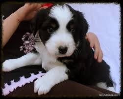 australian shepherd for sale california nor cal mini aussies mini aussie puppies ca