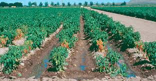 Green Chilli Plant Diseases - chile pepper and the threat of wilt diseases