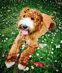 Ginger Doodle Puppies For Sale Gorgeous Doodles