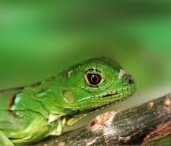 imágenes de iguanas verdes hermosas iguanas verdes