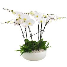 orchid plants 5 orchid plant arrangement in ceramic or glass vase seasons flowers
