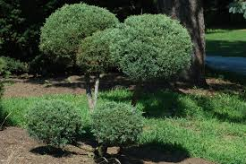 Pom Trees Chinese Juniper Shrubs Blue Pfitzer The Pom Pom Bush