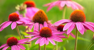 echinacea flower how to grow and care for echinacea bakker