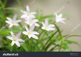 Dark Green Color Meaning by Beautiful Laver Flower Rain Lilies On Stock Photo 289398443
