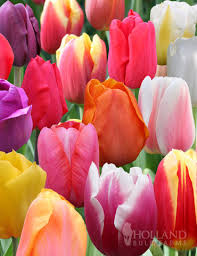 bulk mixed tulips wholesale mixed tulip bulbs