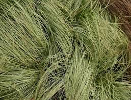 carex comans frosted curls new zealand hair sedge