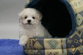 Dog Igloo Dog Cute Bichon Frise Pup In An Igloo Bed Photo Wp37945