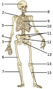 Anatomy Of The Human Body Bones Free Anatomy Quiz The Skeleton Quiz 1
