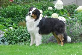 d azumoon australian shepherd australian shepherd rumour has it of free spirit id 13968