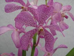 Light Purple Color by Buy Mokara Orchid Light Purple Color Flowering Plant Online At