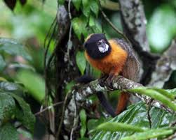 golden mantled tamarin wikipedia