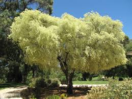 australian native screening plants willow myrtle peppermint tree agonis flexuosa tree