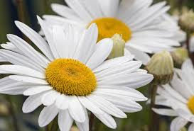 daisy wallpapers backgrounds images pictures u2014 download for free