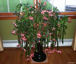 my thanksgiving cactus