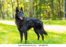belgian sheepdog guard dog belgian sheepdog stock images royalty free images u0026 vectors