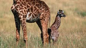 what are baby giraffes called reference com