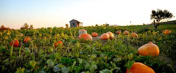 the peach tree farm peaches pumpkin patch straw maze and