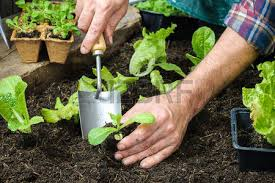 farmer planting young seedlings of lettuce salad in the vegetable