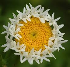 Daisy The Flower - 20 plants that are totally confused environmental factors