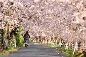 the 99 000 cherry trees to salve the sorrow of a tsunami