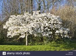 tree with white flowers trees with white blooms by april bloom blooms blossom blossoms