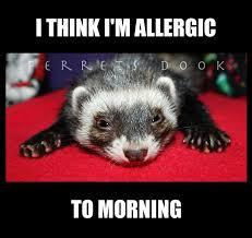 Ferret Meme - 74 best ferret memes images on pinterest funny ferrets ferrets