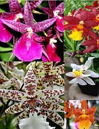 oncidium orchid top 13 best oncidium orchid plants oncidium orchid plants reviews