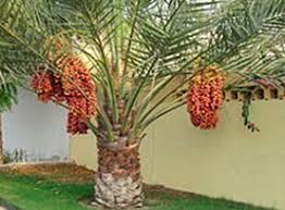 spectacular tropical trees in the garden roebelenii