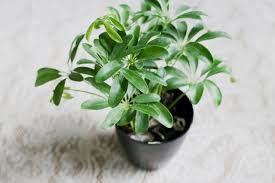 Umbrella Plant Diseases - how to care for a schefflera plant hunker