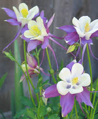 awesome looking flowers best 25 columbine flower ideas on pinterest blue flower names