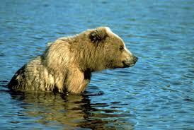 Are Bears Color Blind Brown Bear Ursus Arctos Natureworks