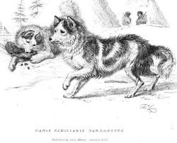 american eskimo dog in india was the hare indian dog a domesticated coyote natural history