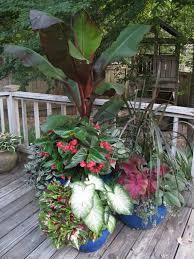 banana plant dragon wing begonia kong coleus caladium u0026 lamb