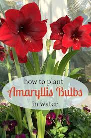 amaryllis flower growing amaryllis in water how to plant amaryllis bulbs in water