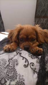 Sofa King Tired by Top 25 Best King Charles Ideas On Pinterest Cavalier King