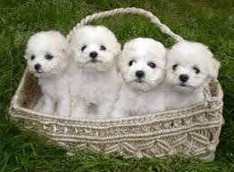 bichon frise names male buy sell bichon frise puppies online adopt a bichon frise dog in