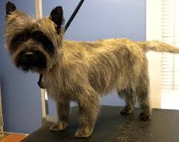 cairn terrier haircuts one fine canine pictures