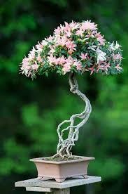 106 best bonsai images on bonsai trees bonsai and