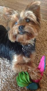 the lexus yorkshire challenge 952 best all about yorkies 2 images on pinterest yorkies white