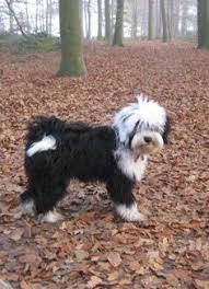 hair cuts for the tebelan terrier tibetan terrier temperament ofa prelim n a this looks like my
