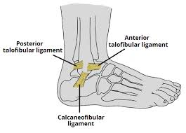 Anterior Distal Tibiofibular Ligament Ankle Joint Anatomy Bone And Spine