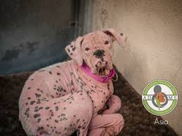rescue a boxer dog rescue dog turned pink by skin infection gets second chance at