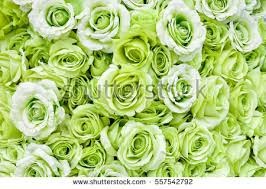 green roses background many green roses stock photo 557542792