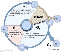 the cell cycle sas