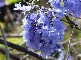 free photo light blue flowers tree purple trumpets max pixel