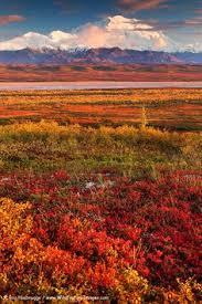 brilliant colors of denali national park alaska wallpapers alaska winter and fall at denali by mark bowen hiking