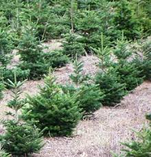 Pacific Northwest Christmas Tree Association - christmas trees agricultural marketing resource center