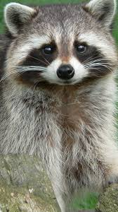 smiley face raccoon sp raccoon animals wildlife animals
