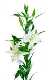 Lily Flowers Beautiful White Lily Flowers Isolated On White Background Stock