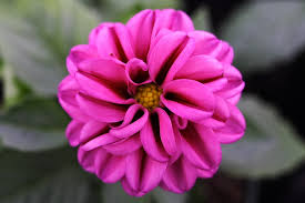 flower bow file pink flower bow forestwander jpg wikimedia commons